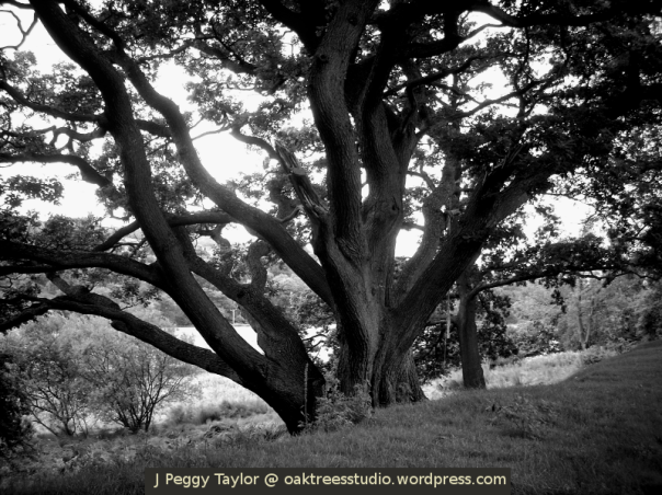 The Broad Oak - black and white photo